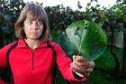 Vicki Trevelyan estimates she lost 10 per cent of her G9 kiwifruit crop to hail strike.PHOTO/GEORGE NOVAK