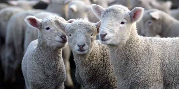 About 25.6 million lambs were tailed last spring, down 1.9 per cent from 2012.  Photo / APN