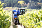 Grapes being harvested in Hawke's Bay. Photo / Duncan Brown