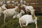 NZ Goats was established by Mohair NZ and Meat Goat NZ.