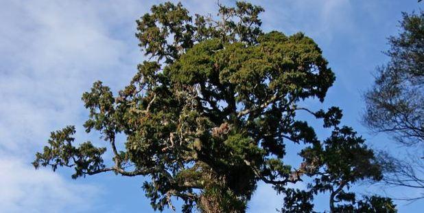 Rimu tree. Photo / file