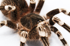 Bio-researchers unravelled the DNA sequence of the tarantula. Photo / Thinkstock