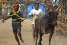 Indian residents try to control a bull during the Jallikkattu Palamedu bull-taming festival in a village near Madurai, in the south Indian state of Tamil Nadu. Photo / AFP