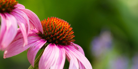 Echinacea. Photo / Thinkstock