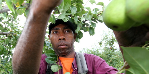 Ataban Rongo, who became a regular RSE worker travelling from Vanuatu to work in Hawke's Bay. Photo / Glenn Taylor
