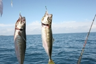 Yellow tails, or jack mackerel, are common and easily caught on small baits and are top baits for snapper and kingfish.