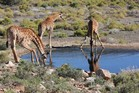 Stopping for a drink is a delicate balancing act for giraffes. Photo / Paul Rush