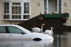 Swans make themselves at home on floodwaters in Chertsey, Surrey, on the western fringe of London. Photo / Getty Images
