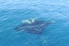 Giant manta ray.