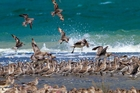 Godwits gather at Ruakaka when spring tides wash over other sandbanks. Photo / File