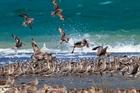 Godwits gather at Ruakaka when spring tides wash over other sandbanks. Photo / File