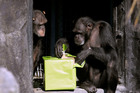 Sierra, right, opens a package as Kenya, left, watches at the Houston Zoo. Photo / AP