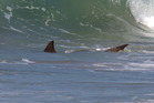 A bronze whaler shark was spotted in the waves at Papamoa on Tuesday.