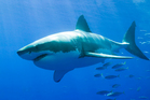 Only about five shark types - of four dozen species - are considered dangerous to people. Photo / Thinkstock