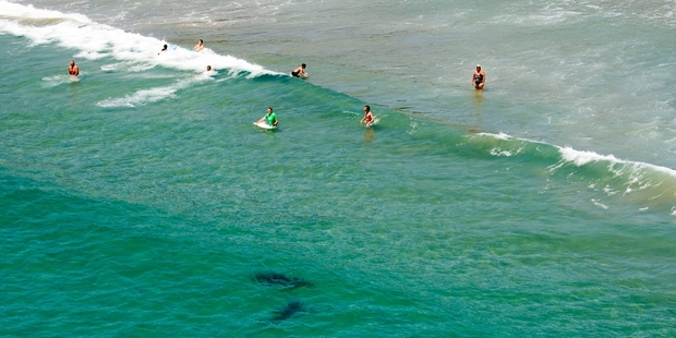 Swimmers at Matarangi Beach are oblivious to the sharks just metres away. Photo / Paul Estcourt