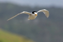 The nesting spots of fairy terns are also some of NZ's busiest holiday destinations. Photo / Paul Estcourt