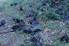 Dead bats on the ground in Terrors Creek, Australia. Photo / YouTube