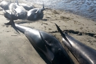 Thirty-nine pilot whales died as a result of this week's stranding on Farewell Spit. Photo/Department of Conservation