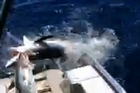 A man fishing in the gulf harbour has his kingfish attacked by a shark.