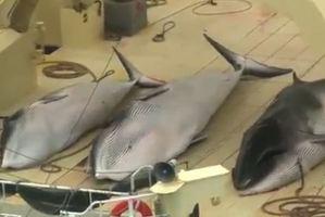Sea Shepherd Conservation Society anti-whaling ship Steve Irwin. Photo / File / Chris Ormond