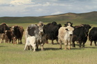 Whenever I ring the total staff - all two of them - are out milking their yaks. Photo / Thinkstock