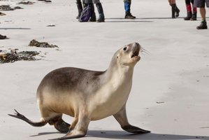 A New Zealand Sea Lion. Photo / File