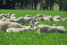 Sheep revenue is expected to increase to $116,300 for 2013/14..