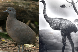 The South American tinamous, and the extinct NZ moa. Photos / Thinkstock, File