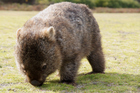 Animals like wombats are taken in by the non-profit Mansfield Wildlife Shelter. Photo / Thinkstock