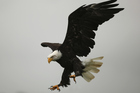 American bald eagles died during a bait attack on rodents on an island in Alaska. Photo / Getty Images