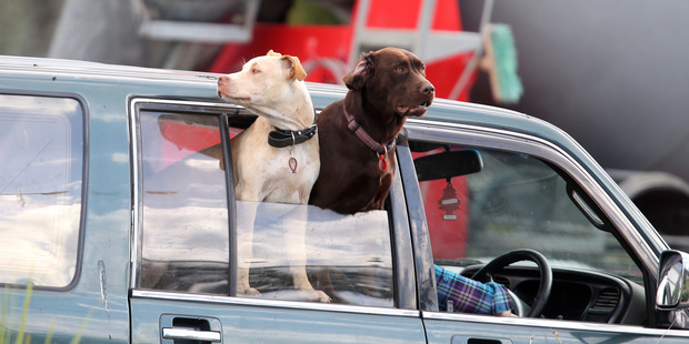 An hour-long sting by the Northern Advocate at a busy Whangarei intersection revealed the dangerous driving habits of Northlanders, with unrestrained dogs the most common concern. Photo/Michael Cunningham