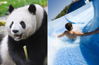 Some of the best jobs in the world include being a caretaker for giant pandas, testing waterslides at theme parks and travelling the world in luxury. Photos / Thinkstock