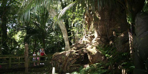 Taketakerau, the 2000-year-old 'burial' tree in Hukutaia Domain.