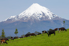 Mt Taranaki looms behind dairy cows grazing in a paddock. Photo / Mark Mitchell