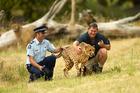 Surviving cheetah Cango at his former home at Orana Wildlife Park.