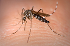 Asian tiger mosquito. Photo / James Gathany