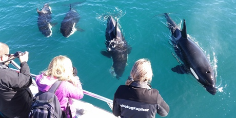 Passengers on a Hole in the Rock cruise yesterday were joined by a pod of orca, including this large male and two young. The third orca from the left is munching on a stingray. Photo/Lawrence Hamilton