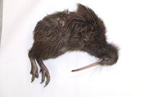 Department of Conservation staff are puzzled as to how a nationally endangered kiwi of South Island origin came to be found dead in the North Island town of Otaki. Photo / DoC