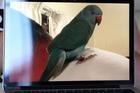 Parrot Bella.