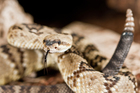 A live rattlesnake was left on a plane. Photo / Thinkstock
