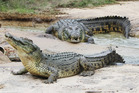 Saltwater crocs at Koorana Crocodile Farm, Coowonga, Central Qld. Photo / Rod Emmerson