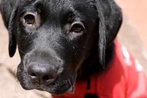 Guide dog in training. Photo / David Rowland