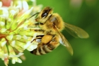 Ninety per cent of plants depend on pollination by bees. Photo / Getty Images