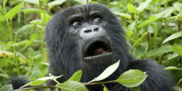 Virunga park is home to 3,000 species including endangered gorillas. Photo / Thinkstock