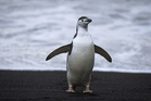 Chinstrap Penguin. Photo / Thinkstock