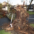 A tree ripped down by the winds last night in Glendowie, Auckland. Photo / Simon Hayden