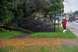 Fallen tree on Waihi Road