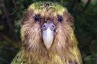 Wild male kakapo Sirocco was born on Stewart Island.