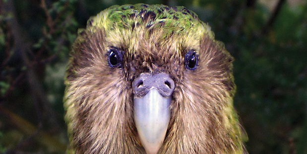 Wild male kakapo Sirocco was born on Stewart Island.
