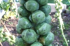 Brussels sprouts are packed with nutrients.